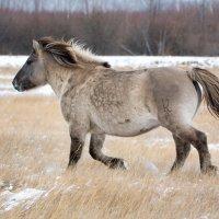 Якутская лошадь :: Alexander Dersu
