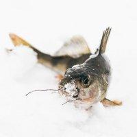 Окунь на снегу. :: Olga Kramoreva