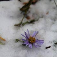 цветы на снегу :: Наталья Д