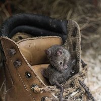 мышка в ботинке :: Галина Фуникова