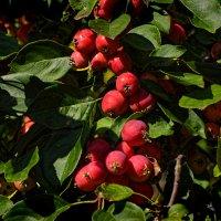 райские яблочки :: linnud