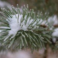Первые снежинки на сосновой лапе 31.10.16 :: Ольга Чазова