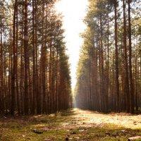 Чудесно в лесу сосновом... :: Настя Масловская