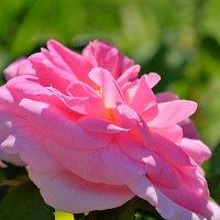 Розовый этюд :: Swetlana V