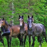 Молодые лошади :: Сергей Чиняев