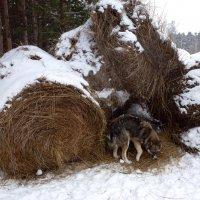 собака на сене :: Лана Lana