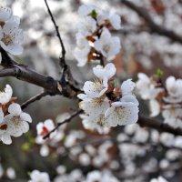 Когда яблони цветут... :: Елена Грибакина
