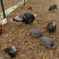 На птичьем дворе :: Нина Бутко
