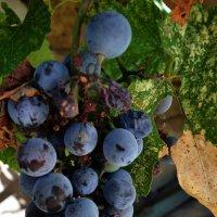 виноград домашний :: Роза Бара