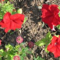 Красные красивые цветочки :: Дмитрий Никитин
