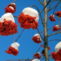Горят рябиновые гроздья.. :: Андрей Заломленков