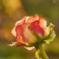 Розы в октябре :: Николай Мальцев