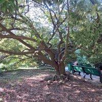 Раскидистое дерево :: Вера Щукина