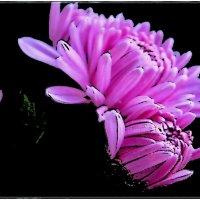 Хризантема с бутоном :: Нина Корешкова