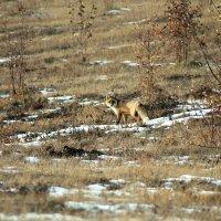 Рыжая лиса в осеннем наряде :: Екатерина Торганская