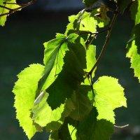 солнце и листва :: Елена