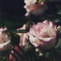 Розы :: Алина Цыбанова