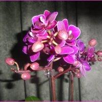 Орхидея фаленопсис :: Вера