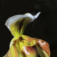 Орхидея рода циприпедиум, Венерин башмачок :: Анатолий Шумилин