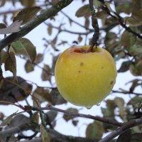 зимнее яблоко :: OLGA