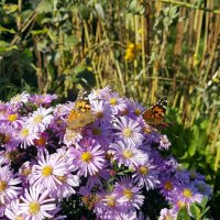 Две бабочки, два легких мотылька... :: Игорь Карпенко