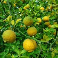 Горький апельсин :: Nina Yudicheva