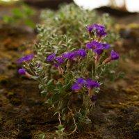 И на камнях растут цветы, необычайной красоты :: Bogdan Snegureac