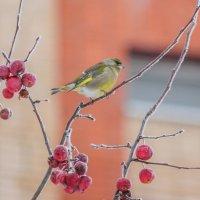Зеленушки тоже любят яблоки :: Елена Шел