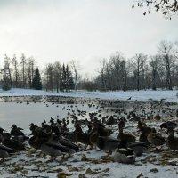 Мороз и..утки.. день холодный :: tipchik