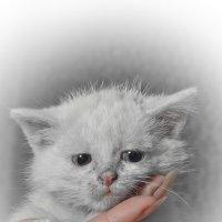 Белый котенок на руке :: Дмитрий Кузнецов