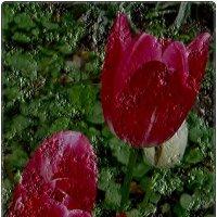 Воспоминание о тюльпанах :: Нина Корешкова