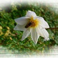 Про белый цветок и пчёлку :: Nina Yudicheva
