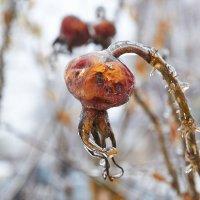 шиповник во льду :: Седа Ковтун