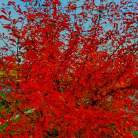 дерево-огонь :: Роза Бара