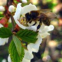 Пчёлка. :: оля san-alondra