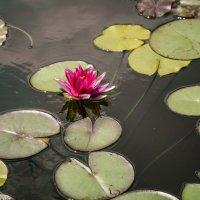 Водный цветок :: Руслан Тимошенко