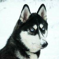 Хаски в снегу :: Роман Челазнов