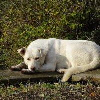 Ждущий кого-то или чего-то пёс :: Маргарита Батырева