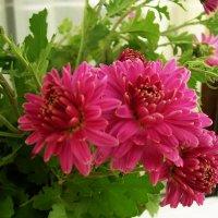 И снова хризантемы :: татьяна