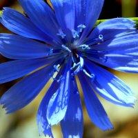Цикорий ярко синий :: Даша Щиголь