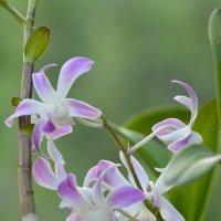 Дикая орхидея. :: Paparazzi