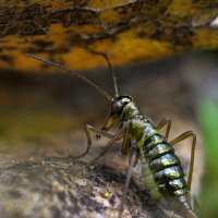 Зимний насекомыш - ледничник . :: Va-Dim ...