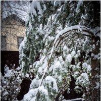 Усталая ветка зимней сосны . :: Игорь Абламейко
