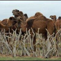 """Верблюды в """" загоне """" :: Ахмед Овезмухаммедов"""