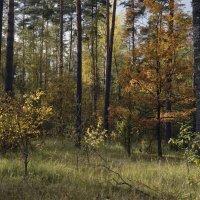 Осень в сосновом бору :: Владимир Дементьев