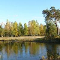 Сосна у озера. :: Дмитрий Гринкевич