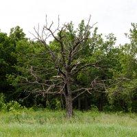 Сухое дерево :: Павел Кореньков