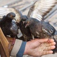 Домашние голуби :: Оксана Лада