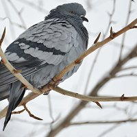 простой питерский голубь :: Наталия П