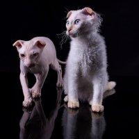Коты :: Serg Koren